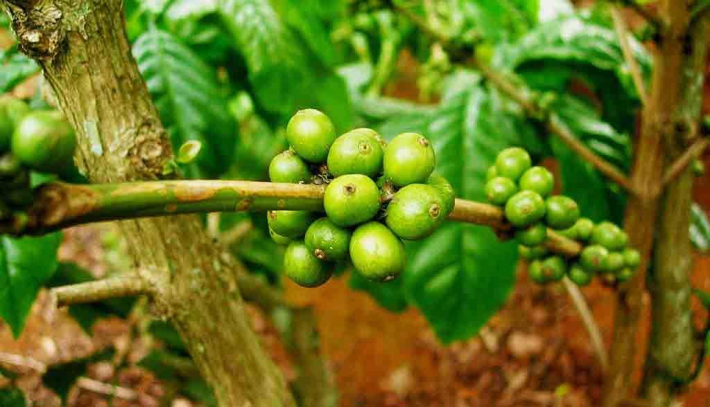 Vietnam Reisen - Im zentralen Hochland gibt es riesige Kaffeeplantagen (Originalbild Mirango Travel)