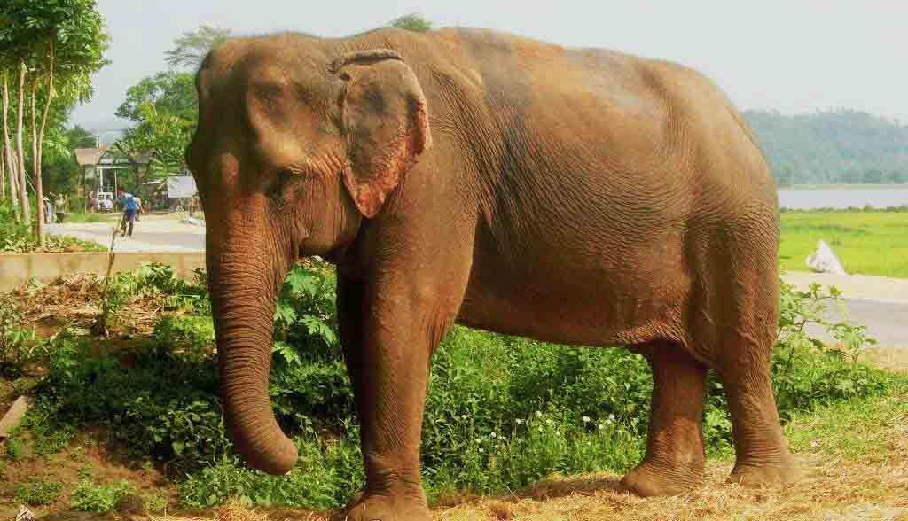 Vietnam Reisen - Elefant am Lak Lake, zentrales Hochland