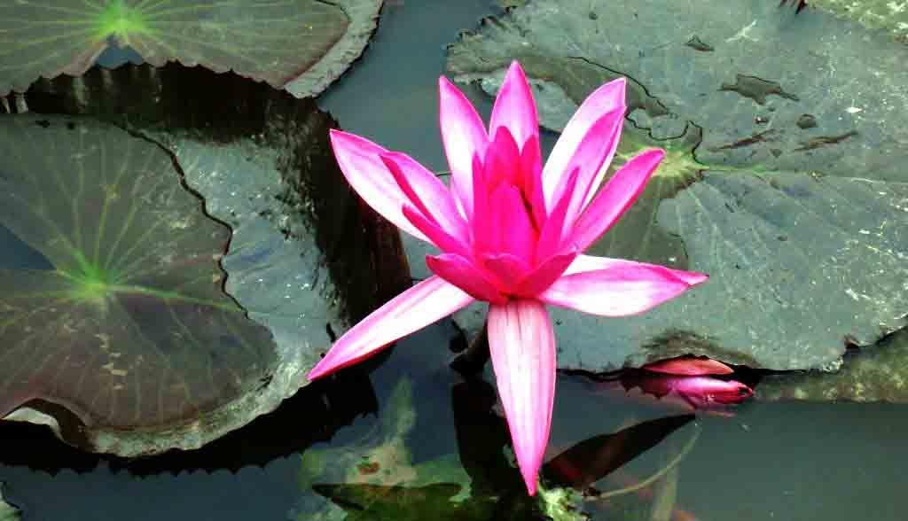 Vietnam Reisen - Lotusblumen auf einen Fluss in Ninh Binh (Originalbild Mirango Travel)